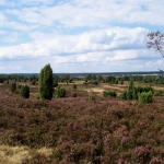 Blühende Undeloher Heide, Blick vom Pastor-Bode-Weg, Foto: HKV Undeloh