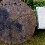 Jahresringe weisen auf Ereignisse der Vergangenheit bei der Dorfeiche in Undeloh