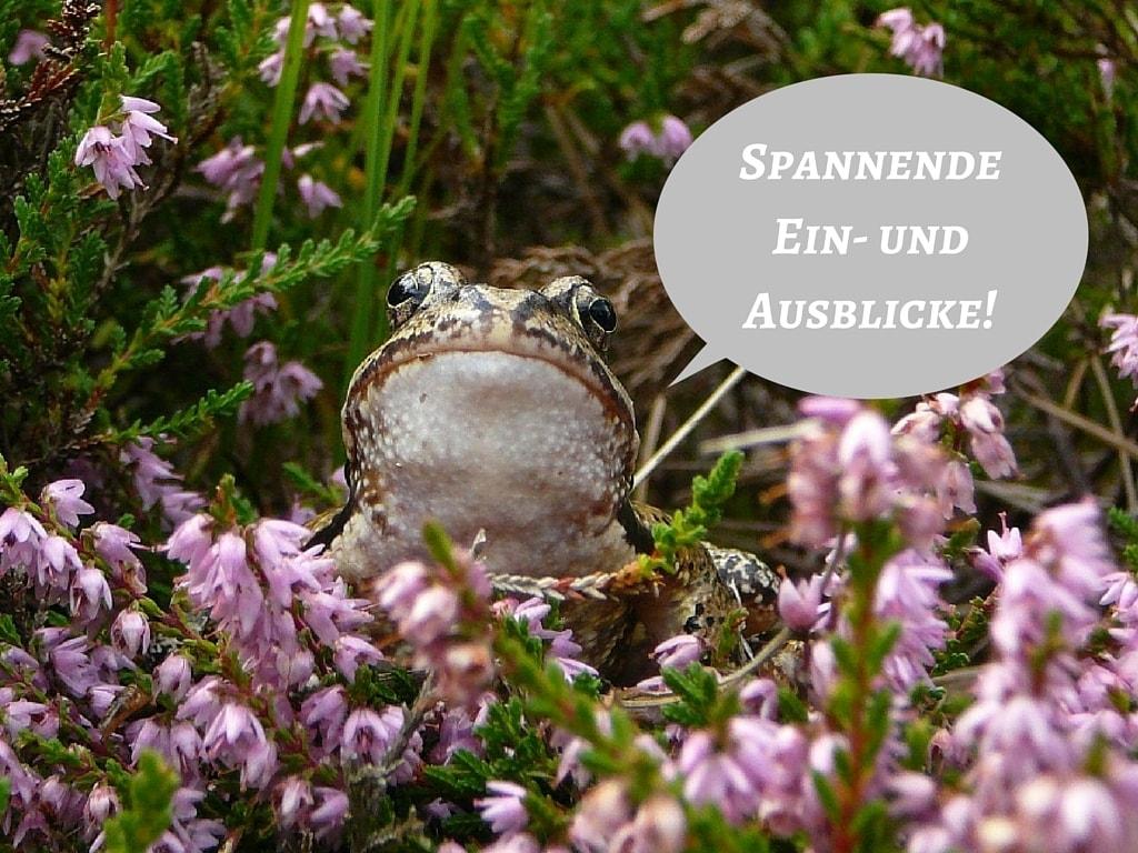 Frosch in Calluna vulgaris (Heidekraut) mit Sprechblase, Foto: HKV Undeloh