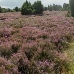 Wanderweg und nach Honig duftende Blüten der Calluna